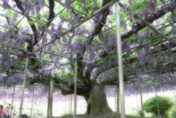 餃子三昧と女子力UPの旅(宇都宮二荒山神社・あしかがフラワーパーク)
